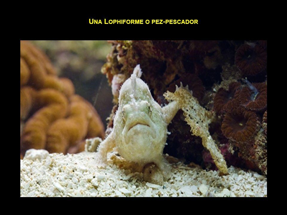 Una Lophiforme o pez-pescador