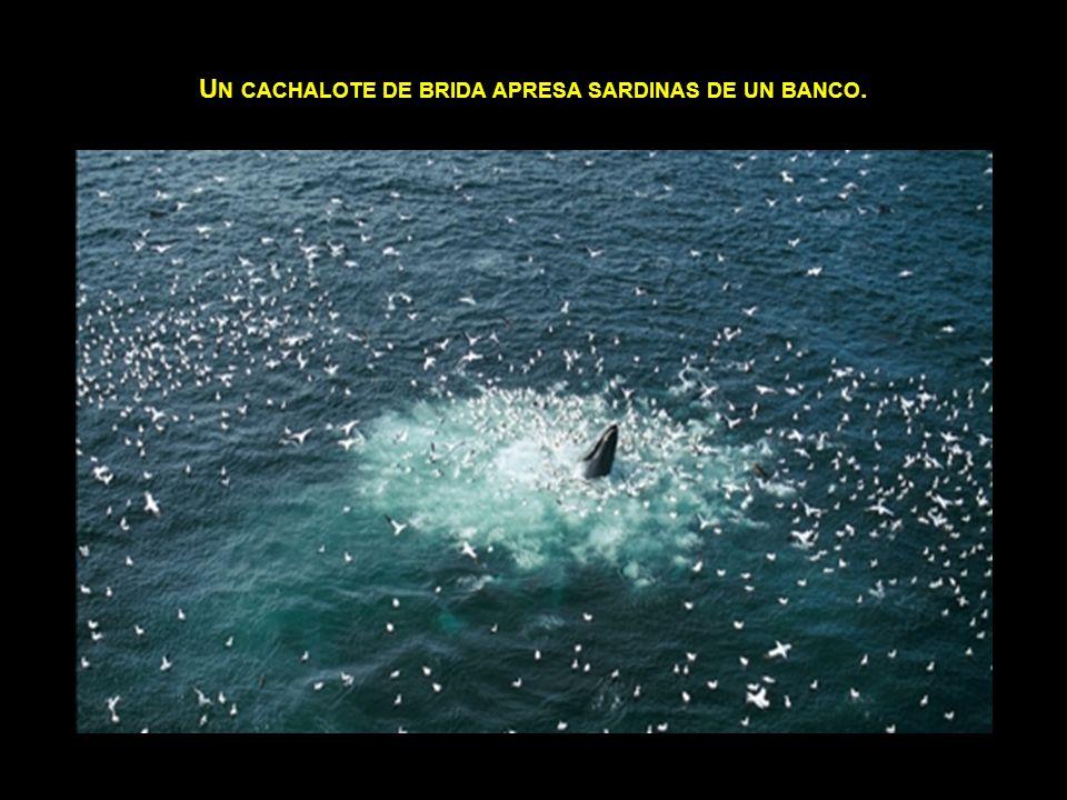 Un cachalote de brida apresa sardinas de un banco.