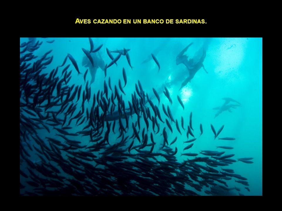 Aves cazando en un banco de sardinas.