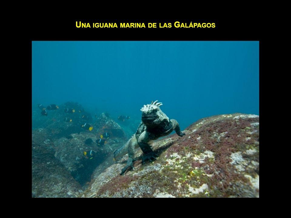 Una iguana marina de las Galápagos