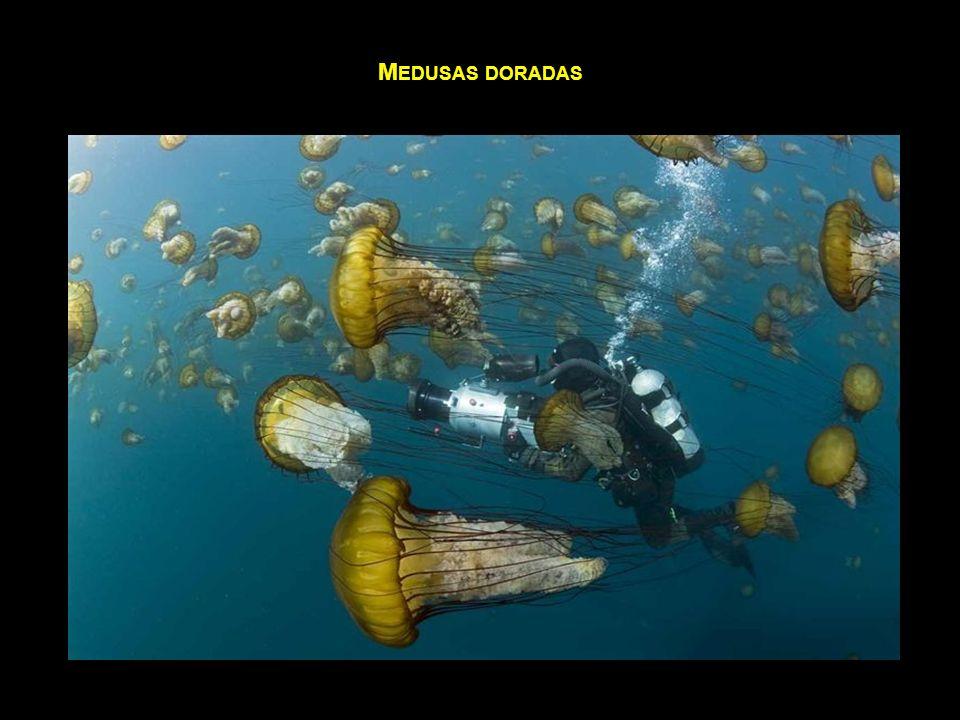 Medusas doradas