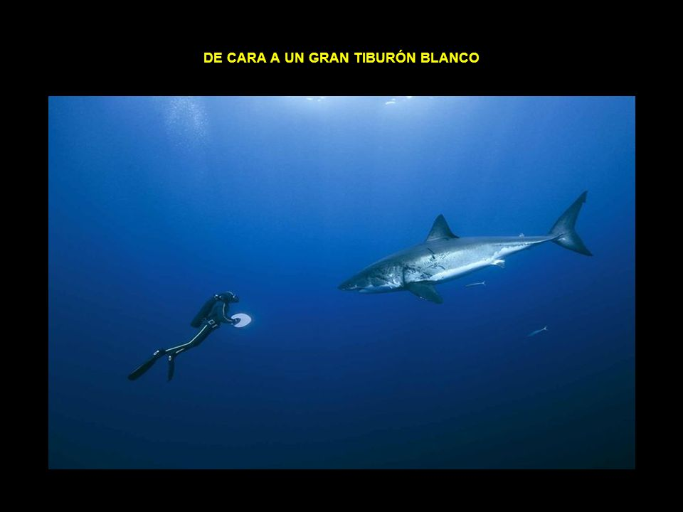 de cara a un gran tiburón blanco