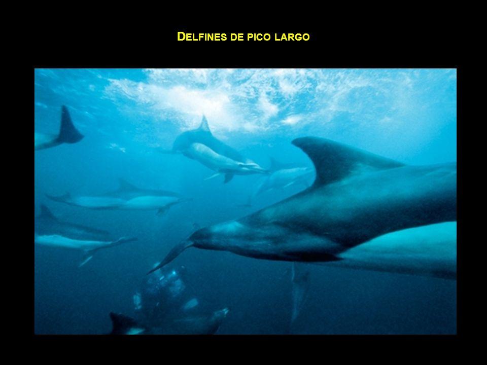 Delfines de pico largo