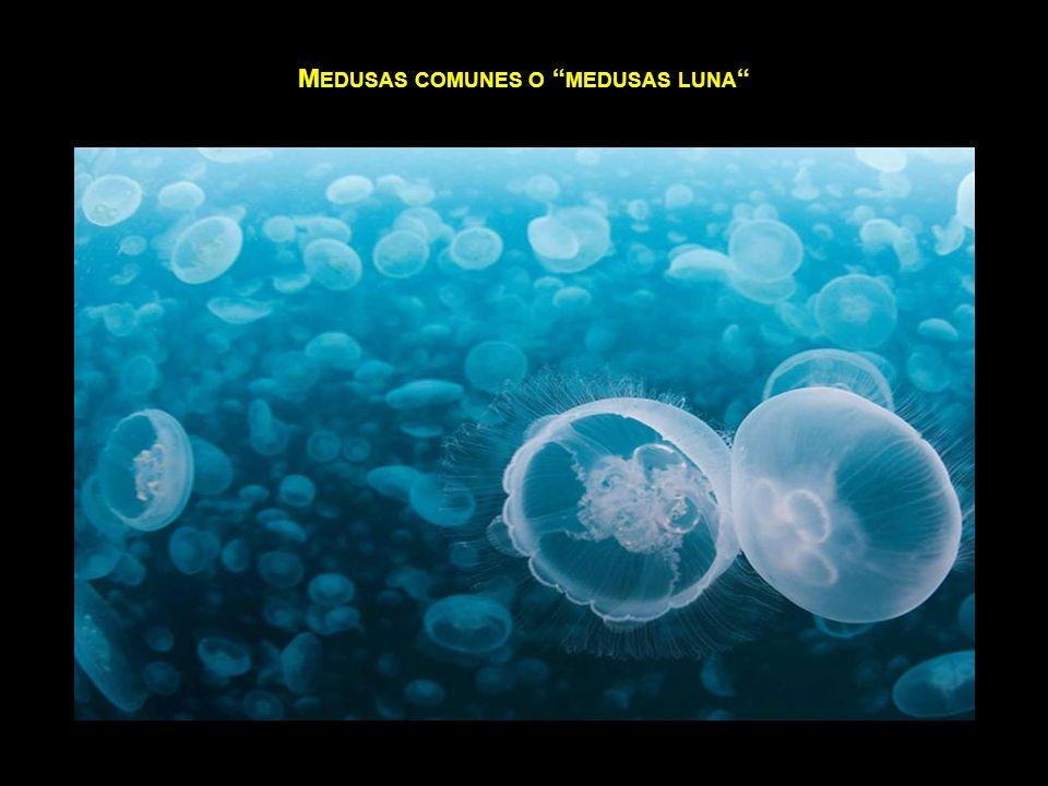 Medusas comunes o medusas luna