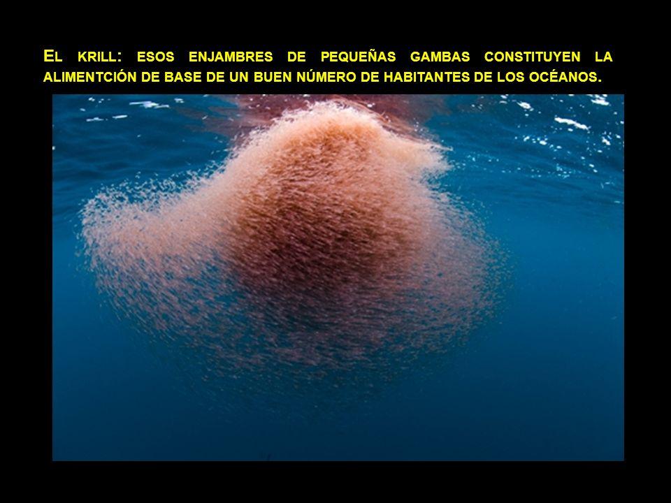 El krill: esos enjambres de pequeñas gambas constituyen la alimentción de base de un buen número de habitantes de los océanos.
