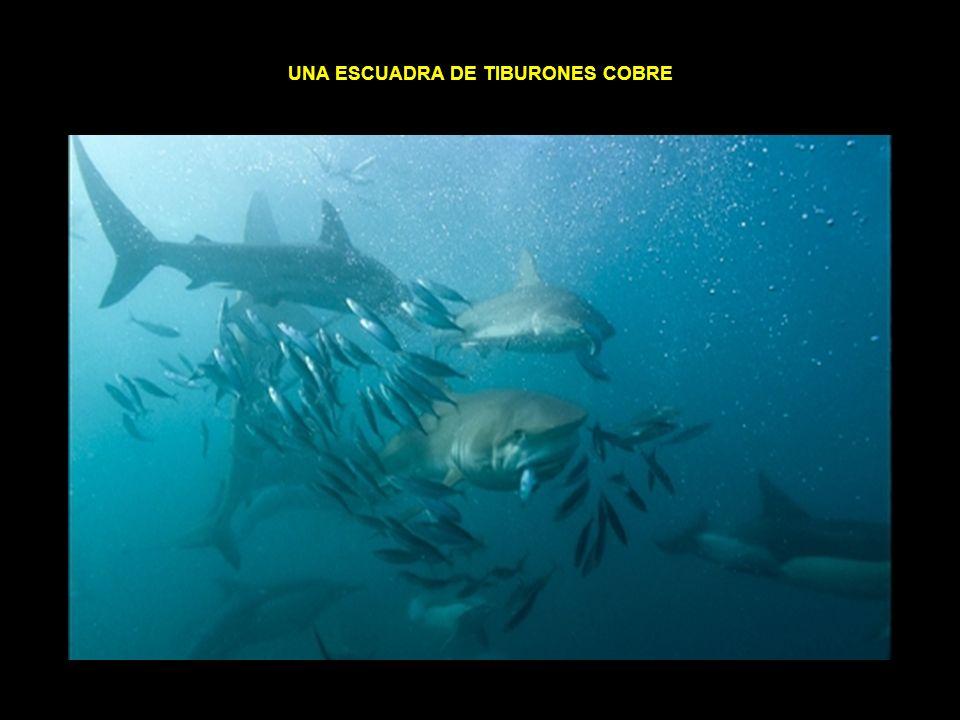 una escuadra de tiburones cobre
