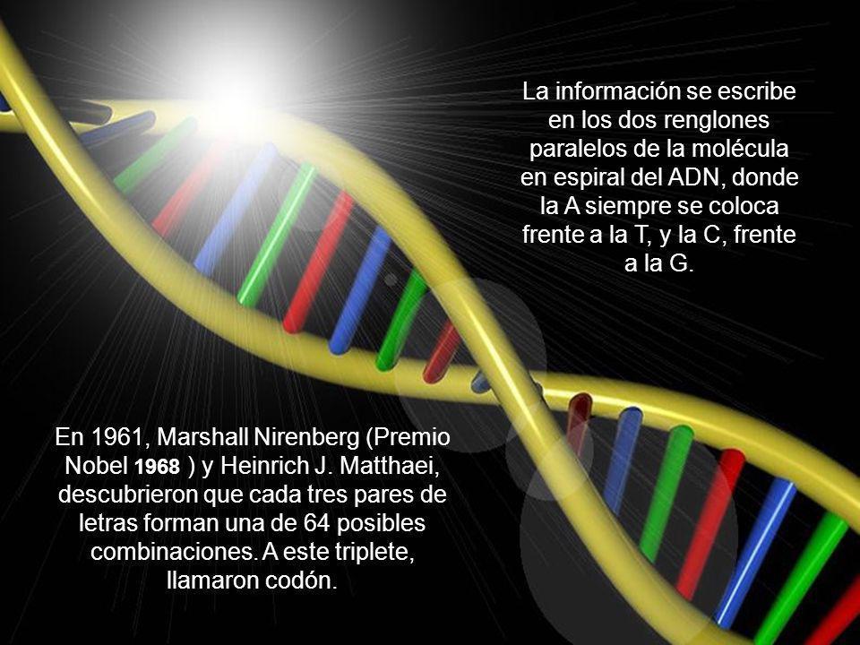 La información se escribe en los dos renglones paralelos de la molécula en espiral del ADN, donde la A siempre se coloca frente a la T, y la C, frente a la G.