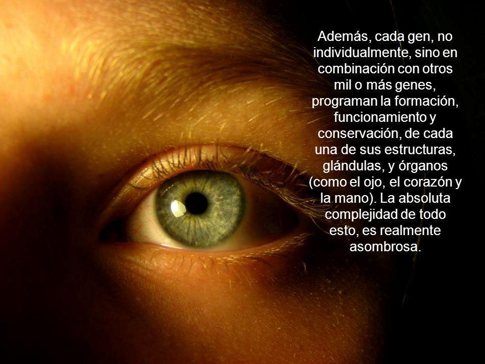 Además, cada gen, no individualmente, sino en combinación con otros mil o más genes, programan la formación, funcionamiento y conservación, de cada una de sus estructuras, glándulas, y órganos (como el ojo, el corazón y la mano).