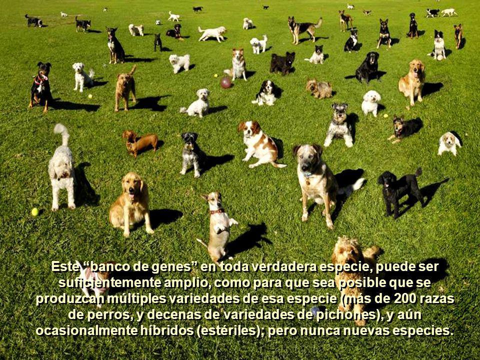 Este banco de genes en toda verdadera especie, puede ser suficientemente amplio, como para que sea posible que se produzcan múltiples variedades de esa especie (más de 200 razas de perros, y decenas de variedades de pichones), y aún ocasionalmente híbridos (estériles); pero nunca nuevas especies.