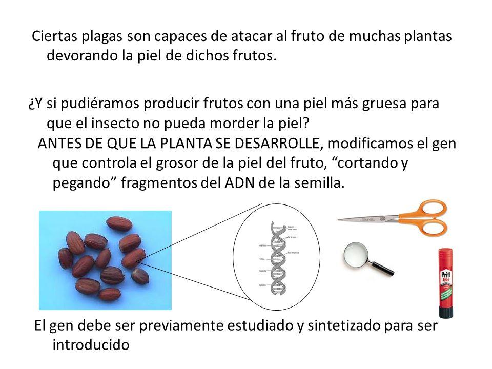 Ciertas plagas son capaces de atacar al fruto de muchas plantas devorando la piel de dichos frutos.
