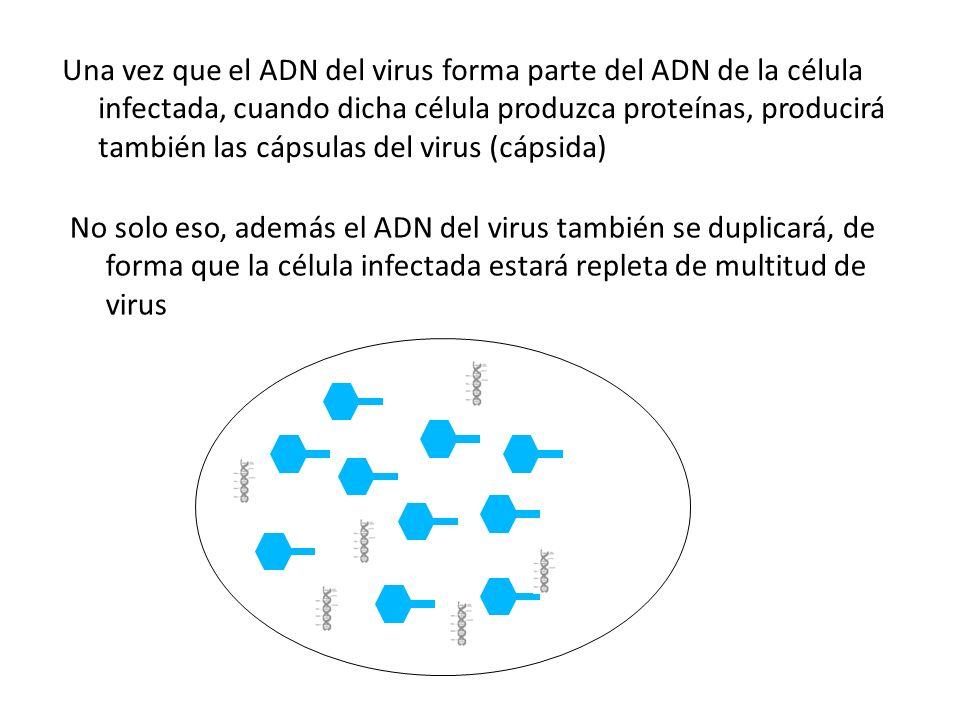 Una vez que el ADN del virus forma parte del ADN de la célula infectada, cuando dicha célula produzca proteínas, producirá también las cápsulas del virus (cápsida)