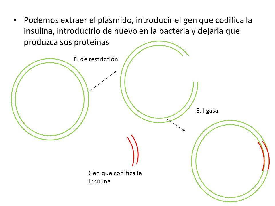 Podemos extraer el plásmido, introducir el gen que codifica la insulina, introducirlo de nuevo en la bacteria y dejarla que produzca sus proteínas