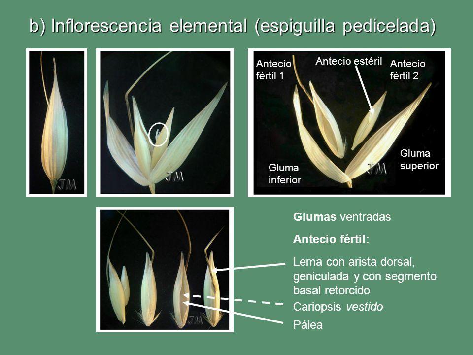 b) Inflorescencia elemental (espiguilla pedicelada)