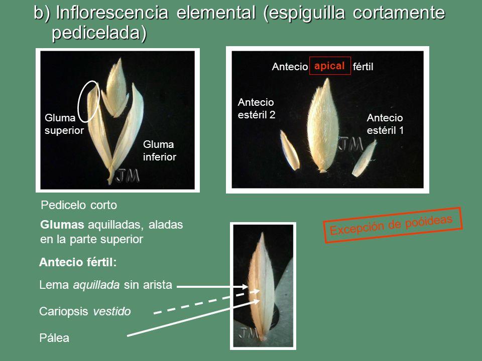b) Inflorescencia elemental (espiguilla cortamente pedicelada)