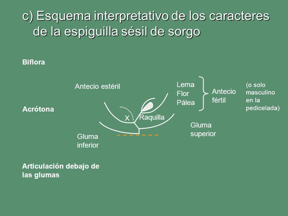c) Esquema interpretativo de los caracteres de la espiguilla sésil de sorgo