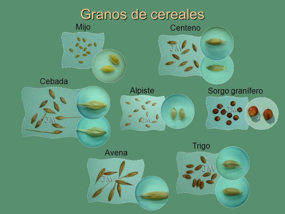 Granos de cereales Mijo Centeno Cebada Alpiste Sorgo granífero Trigo