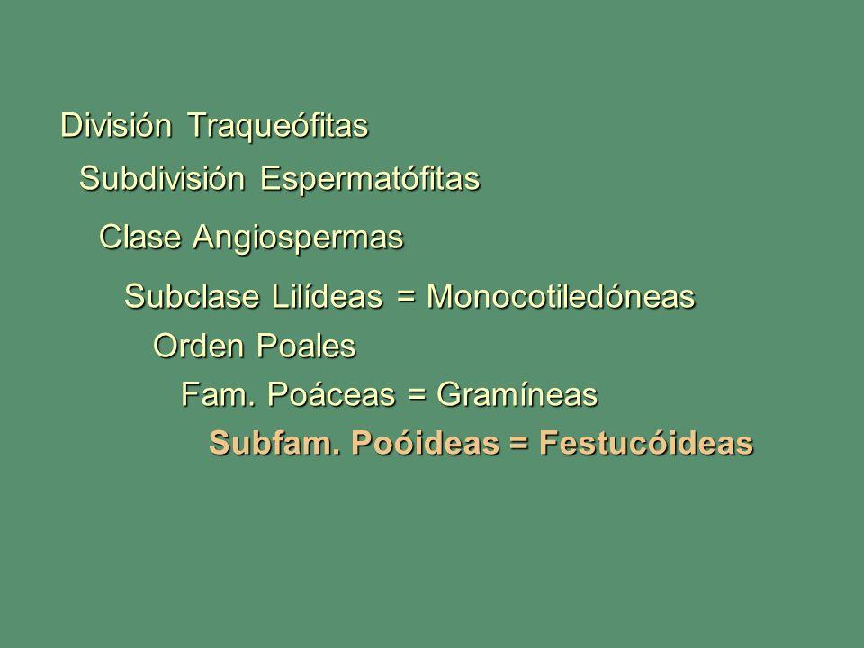 Subclase Lilídeas = Monocotiledóneas
