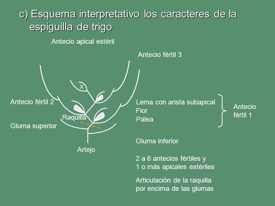 c) Esquema interpretativo los caracteres de la espiguilla de trigo