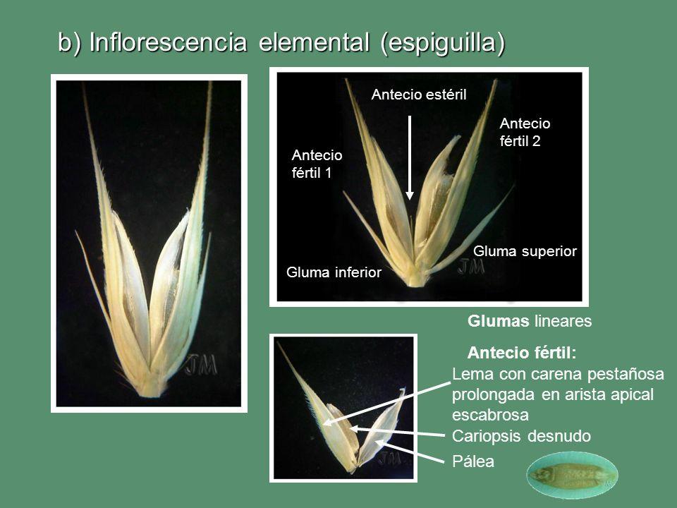 b) Inflorescencia elemental (espiguilla)