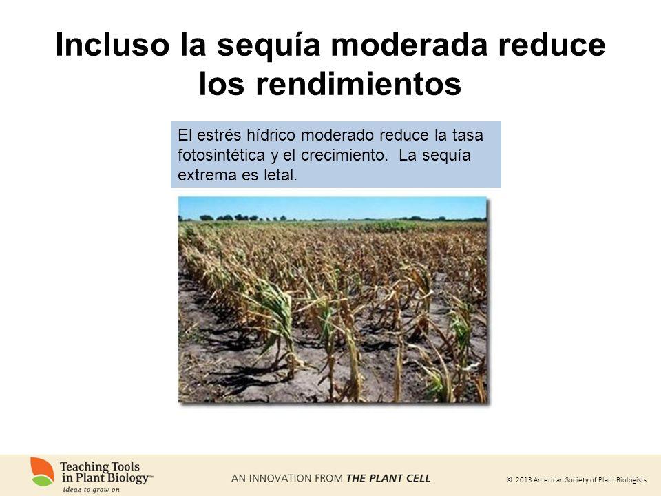 Incluso la sequía moderada reduce los rendimientos