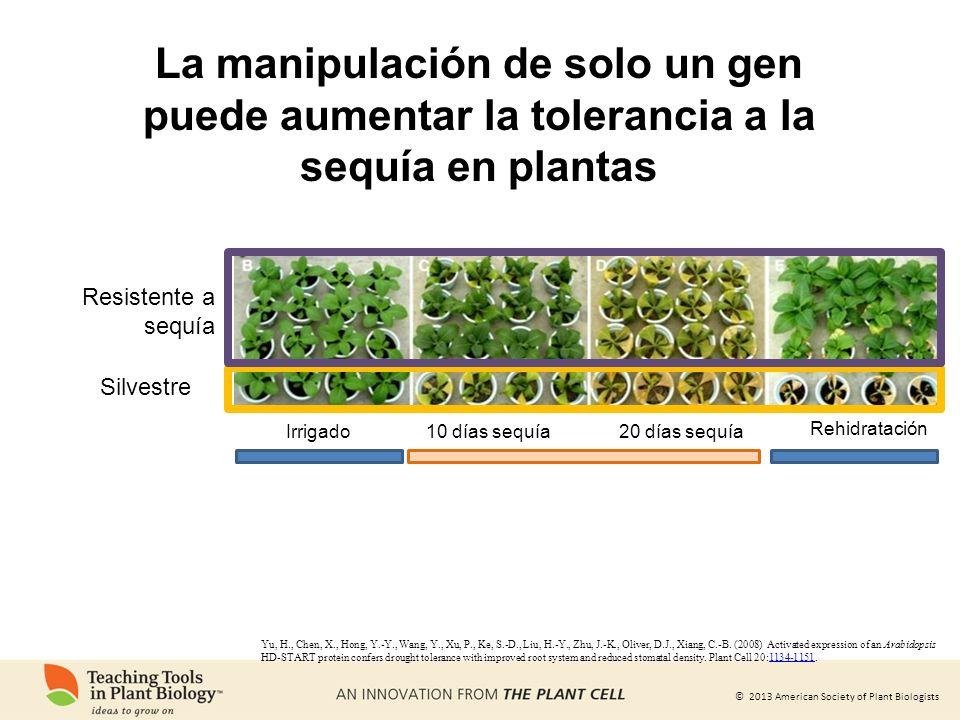 La manipulación de solo un gen puede aumentar la tolerancia a la sequía en plantas