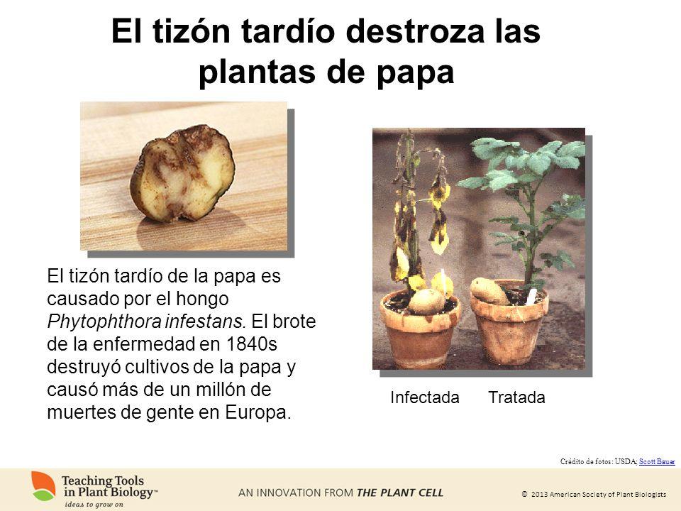 El tizón tardío destroza las plantas de papa