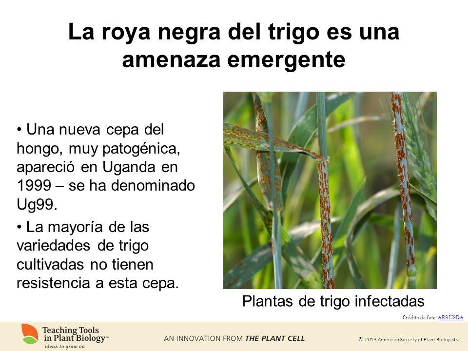 La roya negra del trigo es una amenaza emergente