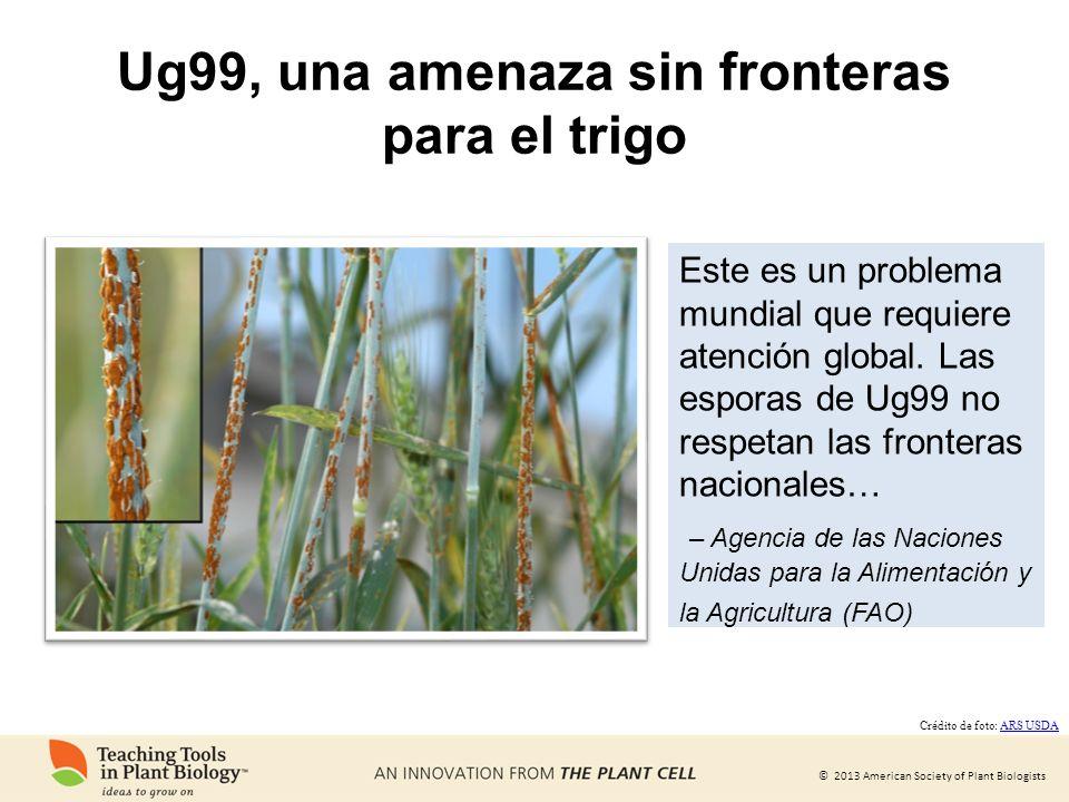 Ug99, una amenaza sin fronteras para el trigo