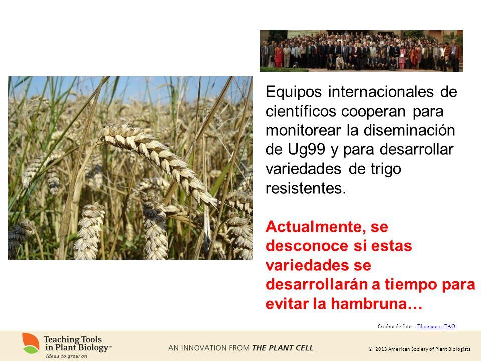 Equipos internacionales de científicos cooperan para monitorear la diseminación de Ug99 y para desarrollar variedades de trigo resistentes.
