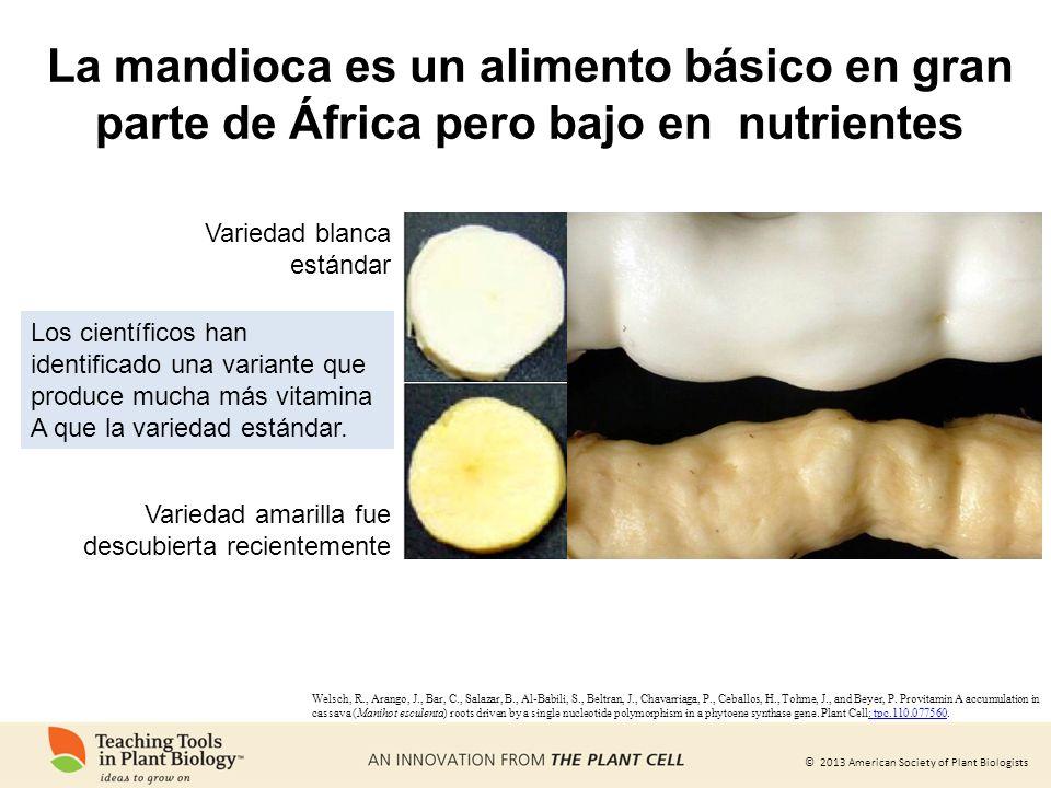 La mandioca es un alimento básico en gran parte de África pero bajo en nutrientes