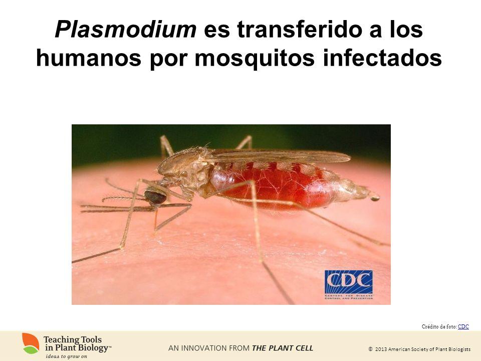 Plasmodium es transferido a los humanos por mosquitos infectados