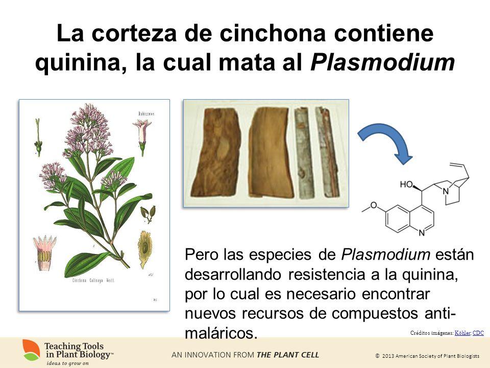 La corteza de cinchona contiene quinina, la cual mata al Plasmodium