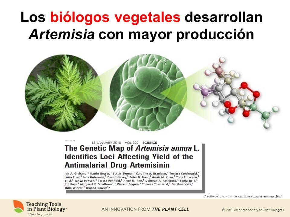 Los biólogos vegetales desarrollan Artemisia con mayor producción