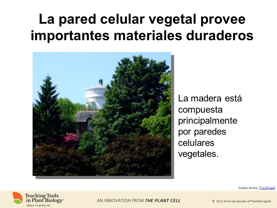 La pared celular vegetal provee importantes materiales duraderos