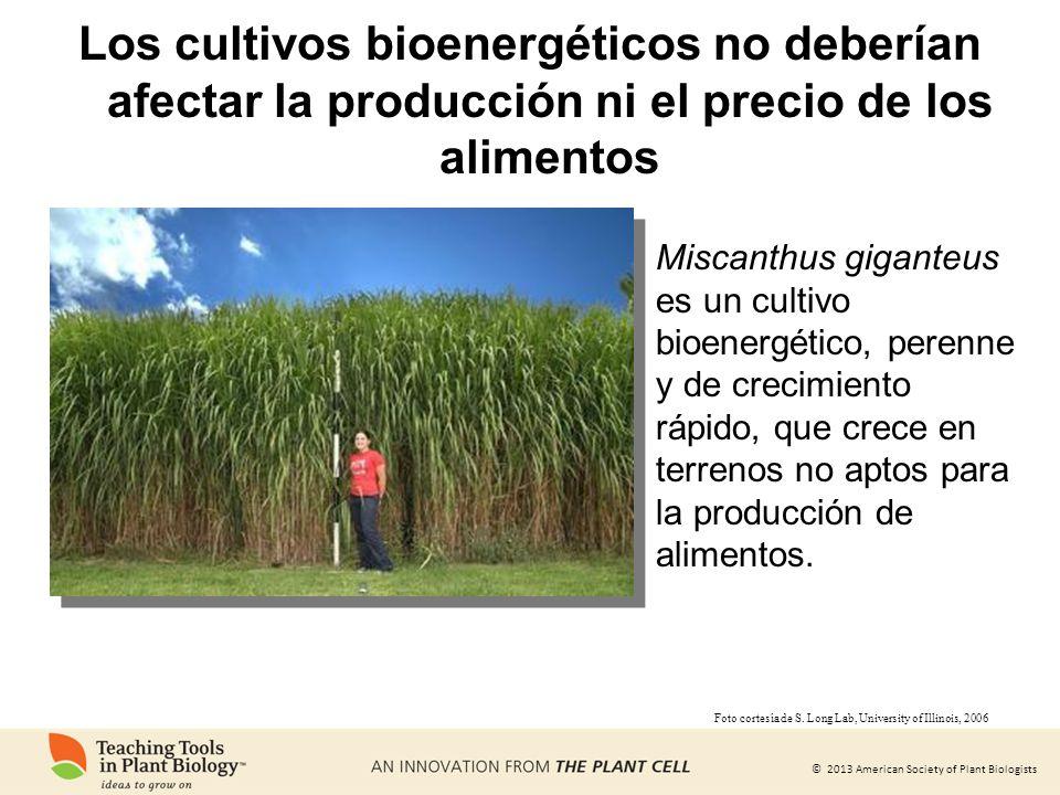 Los cultivos bioenergéticos no deberían afectar la producción ni el precio de los alimentos