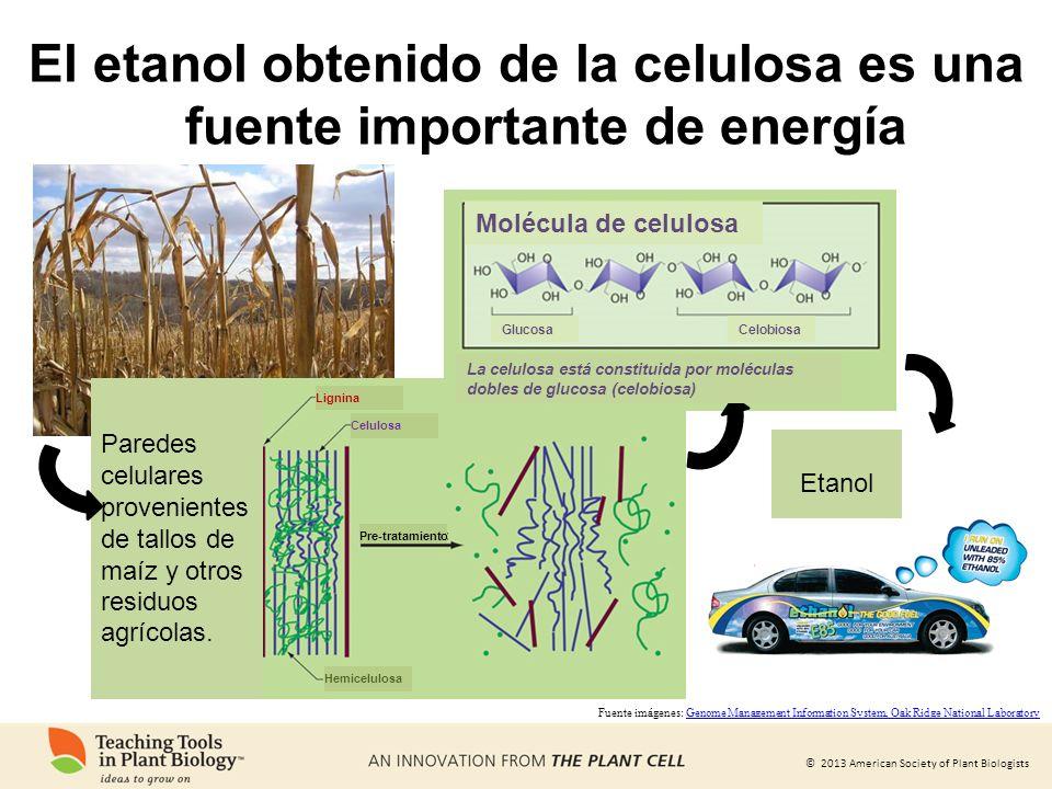 El etanol obtenido de la celulosa es una fuente importante de energía