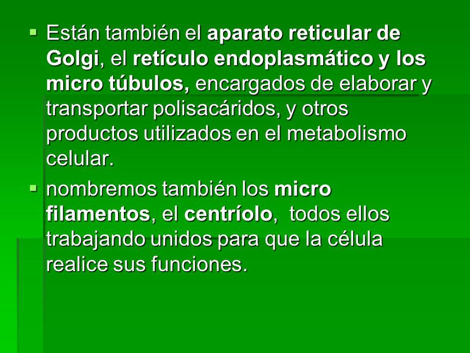 Están también el aparato reticular de Golgi, el retículo endoplasmático y los micro túbulos, encargados de elaborar y transportar polisacáridos, y otros productos utilizados en el metabolismo celular.