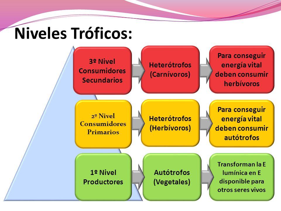 Niveles Tróficos: 3º Nivel Consumidores Secundarios Heterótrofos