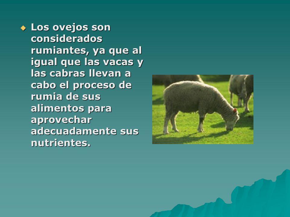 Los ovejos son considerados rumiantes, ya que al igual que las vacas y las cabras llevan a cabo el proceso de rumia de sus alimentos para aprovechar adecuadamente sus nutrientes.