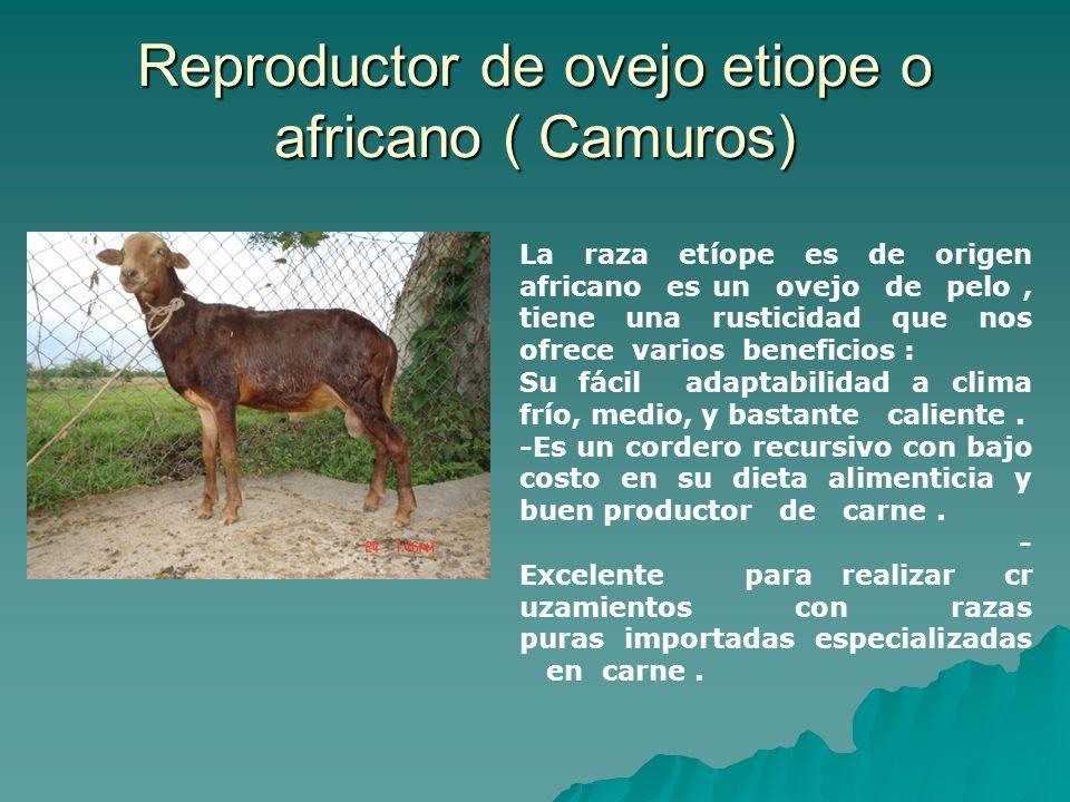 Reproductor de ovejo etiope o africano ( Camuros)
