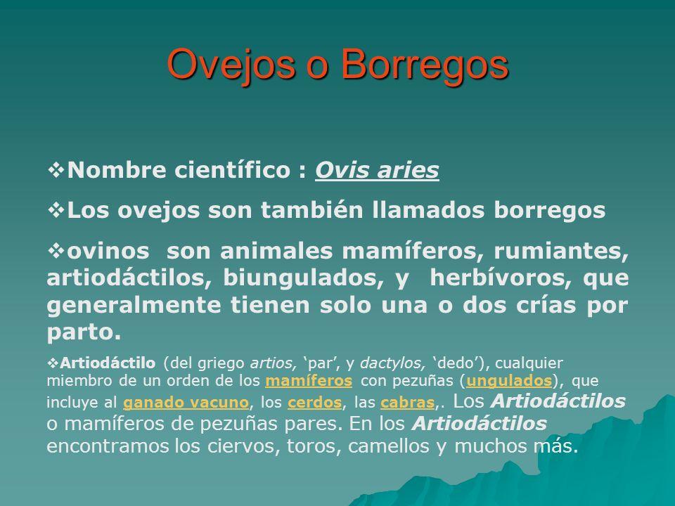 Ovejos o Borregos Nombre científico : Ovis aries