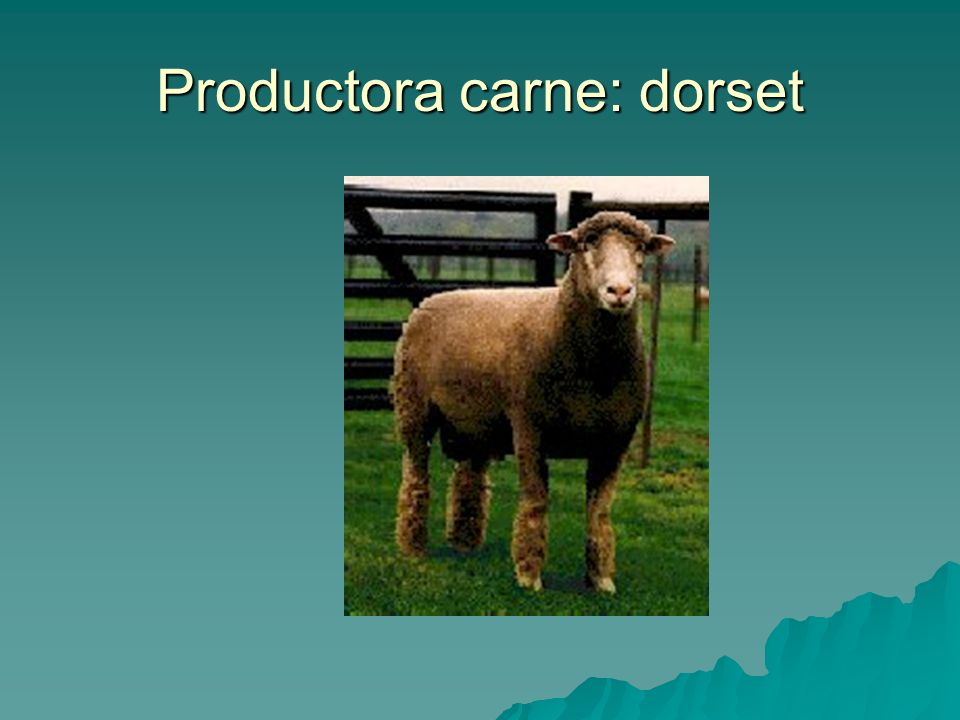 Productora carne: dorset