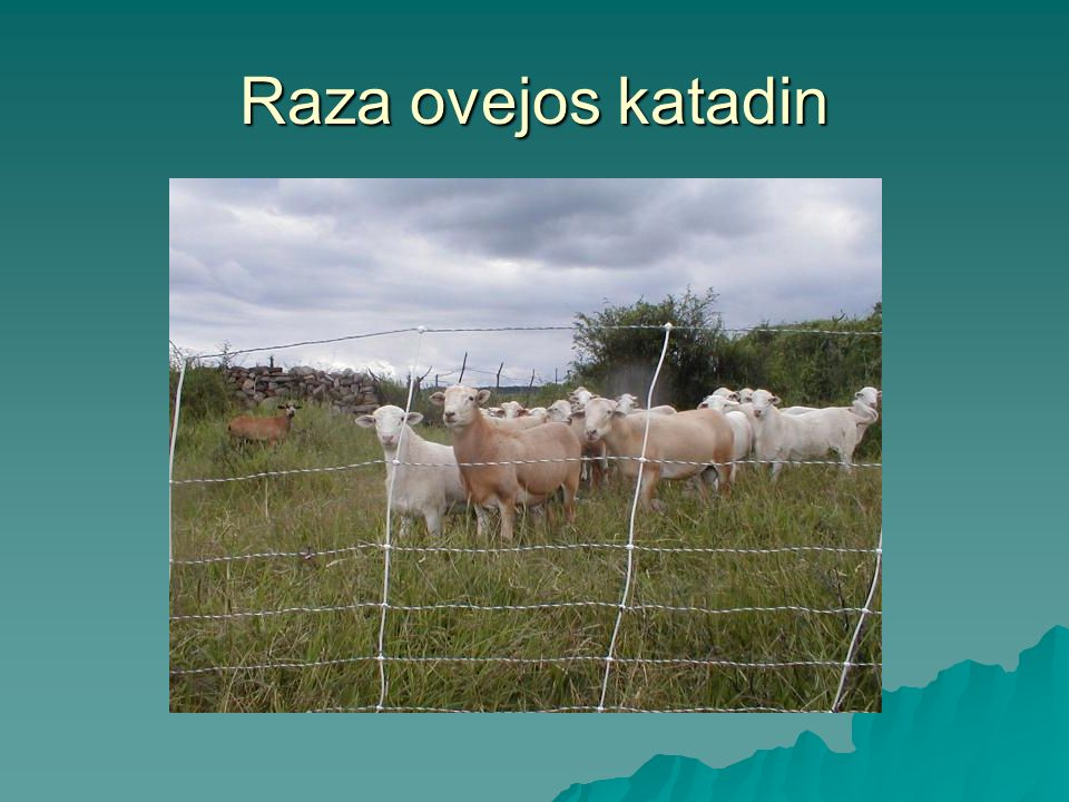 Raza ovejos katadin