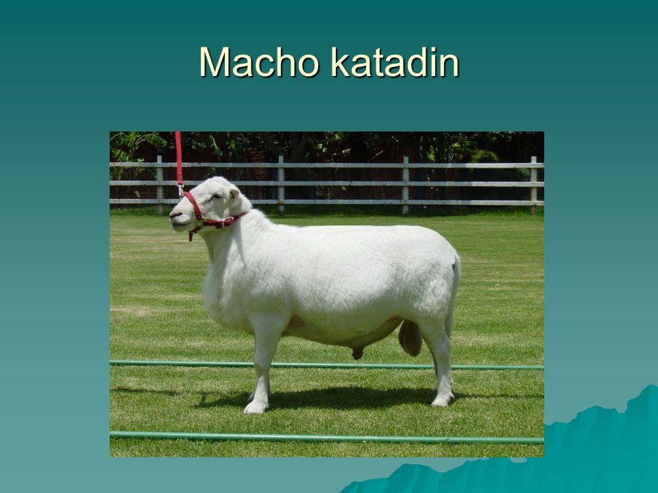 Macho katadin