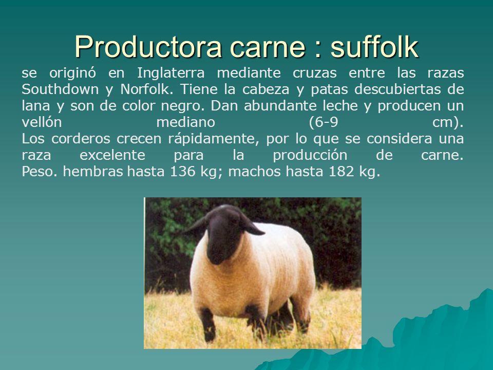Productora carne : suffolk