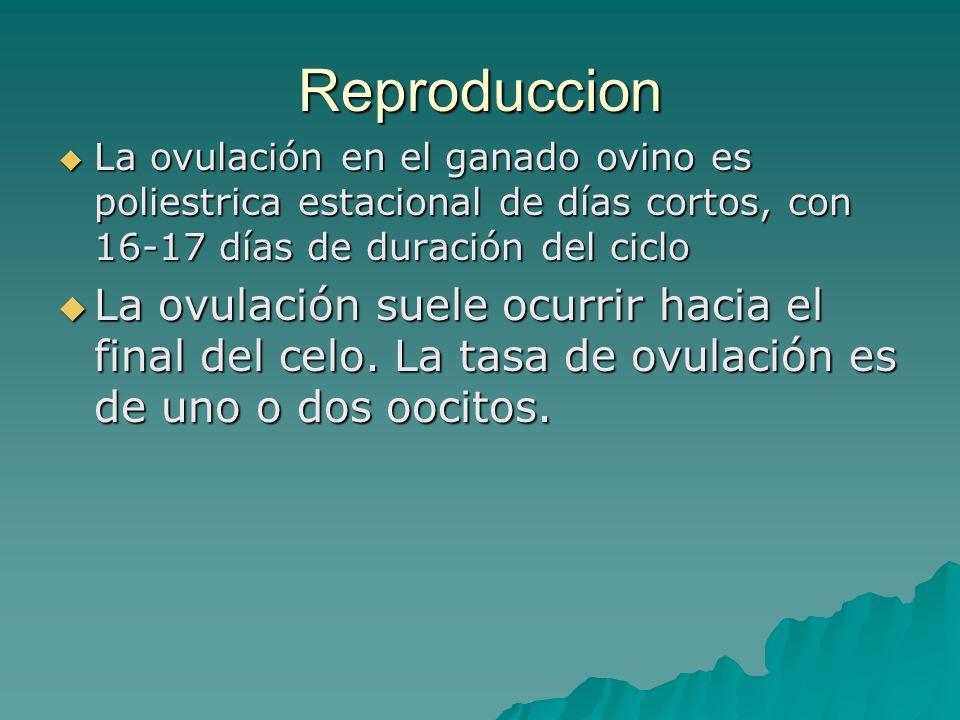Reproduccion La ovulación en el ganado ovino es poliestrica estacional de días cortos, con 16-17 días de duración del ciclo.