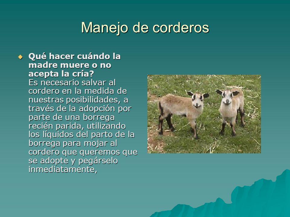 Manejo de corderos