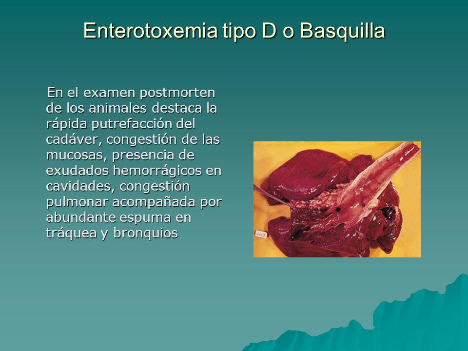 Enterotoxemia tipo D o Basquilla