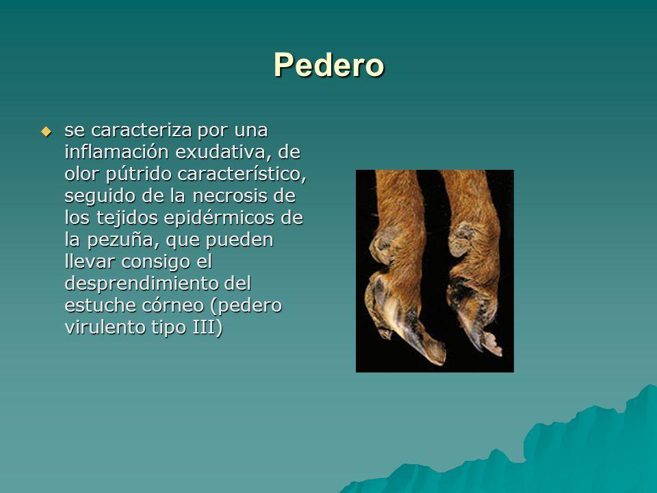 Pedero