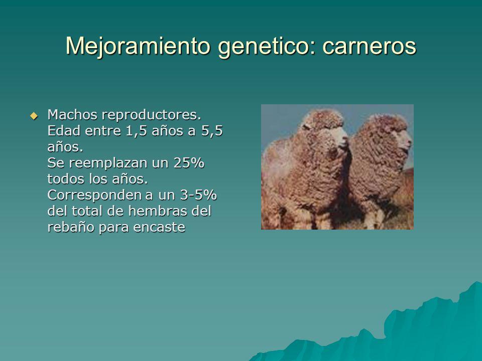 Mejoramiento genetico: carneros